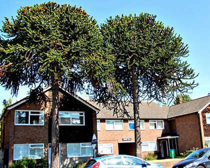 Stanley Road's iconic monkey puzzle trees are saved!